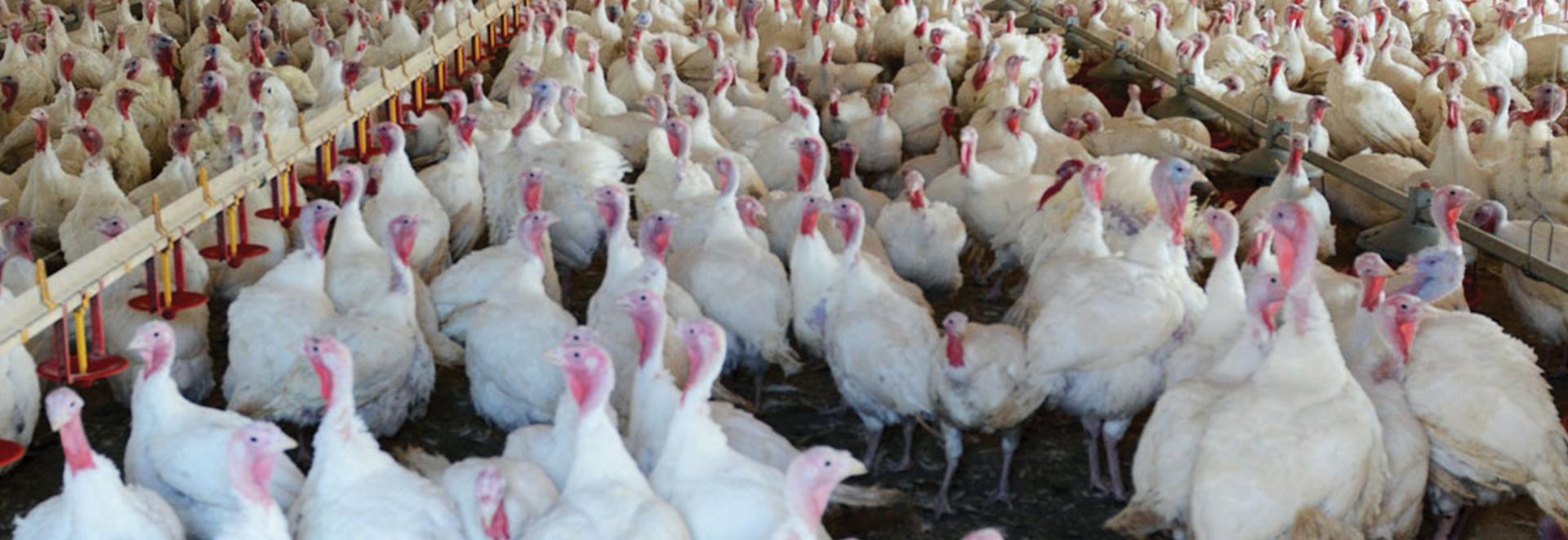 hundreds of poultry